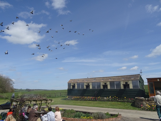pigeon race 009